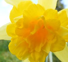 Daffodil by Ryan Mackay