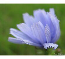 Chicory, softly... Photographic Print