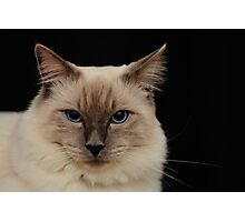 rag doll cat #1 Photographic Print