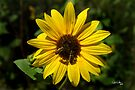Sunflower Delight by Vicki Pelham