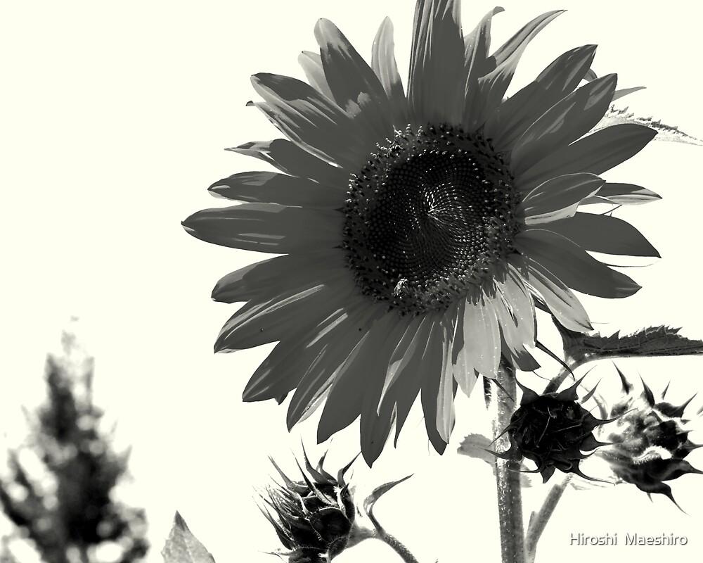 Sunflower-bk by Hiroshi  Maeshiro
