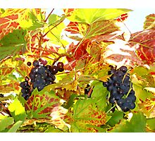 Purple Grapes Photographic Print