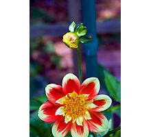 Dahlia with a hitchhiker Photographic Print