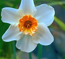 Orange Daffodil by A Leung
