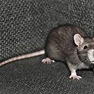 Curious Rat by yurix