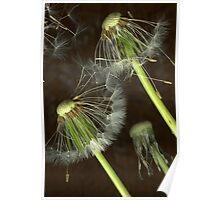Spiky dandelion Poster