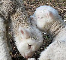 loving lambs by Juanita Arnold