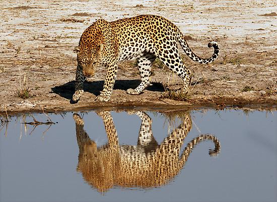 Leopard Reflection - Okavango Delta, Botswana by Sharon Bishop
