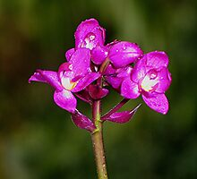 Orchid by jaycraft