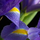 Iris by Tanya Small