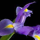 Iris 2 by Tanya Small