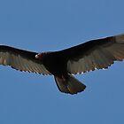Ocho Rios Vulture by tgmurphy