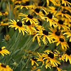 Brown Eyed Susans by Ruth Lambert