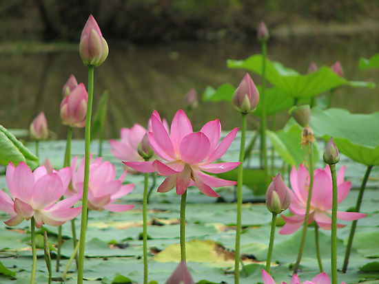 On Lotus Pond by NatureGreeting Cards ©ccwri