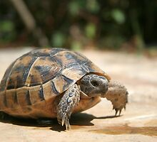 Portrait of a Young Wild Tortoise by taiche