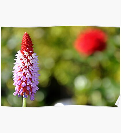 Red-Hot Poker Primrose Poster