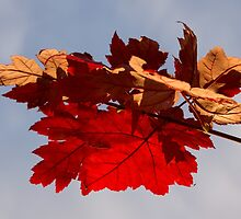 Cheerful Red Canadian Maple Leaves in the Fall by Georgia Mizuleva
