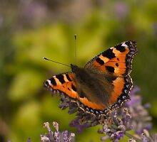 red admiral butterfly on lavender by rosie320d