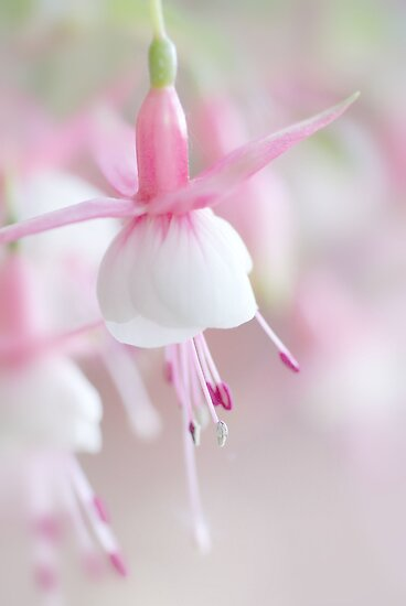 Soft Fuchsia by AnnieSnel