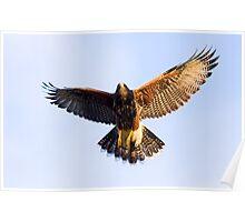 071409 Juvenile Harris Hawk Poster