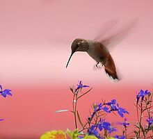 Hummingbird 7 17 09 by Barbara Anderson