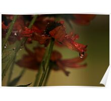 Red daisy in Rain Poster