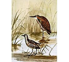 American Bittern and Sora Photographic Print