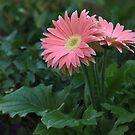 Gerbera Daisy by Kate Adams