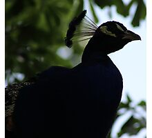 Perched Peacock in Shade Photographic Print