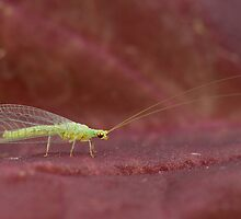 Green lacewing by capturedbyme