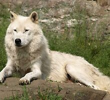 The Arctic Wolf by Moxy