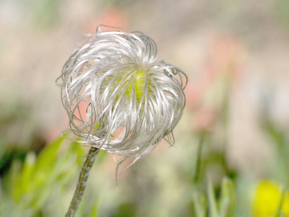 Do you know this wildflower? by Robert C Richmond
