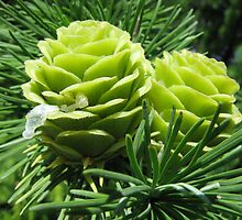 Larch Tree with Baby Cones by Detlef Becher
