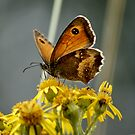 Meadow Brown Butterfly by AnnDixon