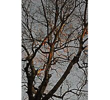 Gilded Birch Photographic Print
