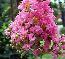 Crepe Myrtle Bloom by Ellen  Price - Greenwald