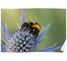 Bee on a Thistle Poster