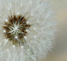 Dandelion by Colleen Drew