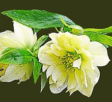 Beautiful spring white peony flowers in black background. Photo art. by naturematters