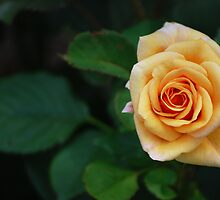 Beautiful Peach Rose...  by Angela Lance