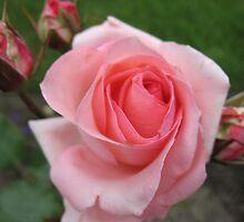 Precious Rose by MarianBendeth