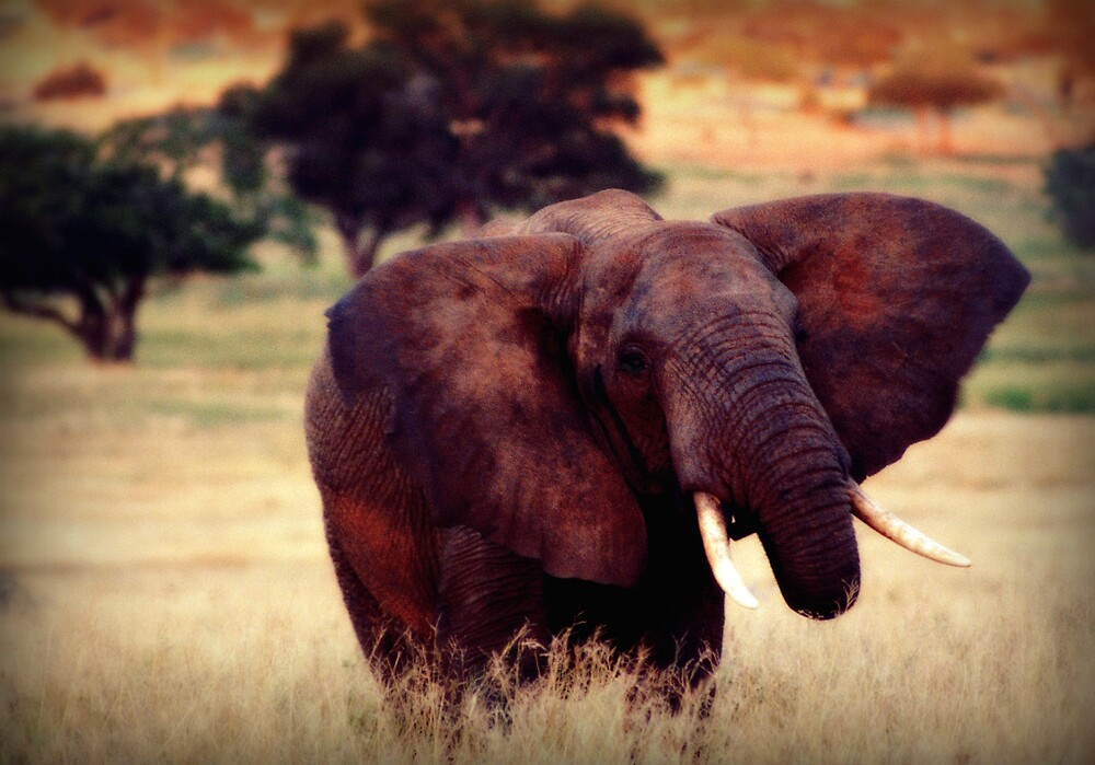 Elephant by pt950