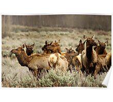 Elk Herd - Teton National Park Poster