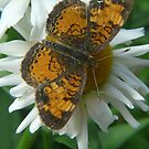 Butterfly on a Daisy by MaeBelle