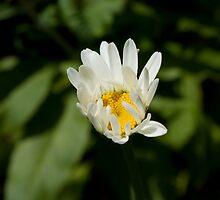 Daisy by moken78