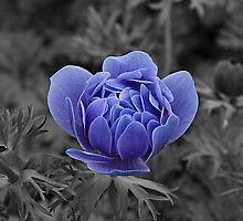 Blue Poppy by TomWagner