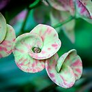 Euphorbia by picketty
