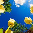 Tulip Race by Dominic Kamp