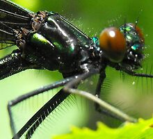 Ebony Jewelwing by sternbergimages