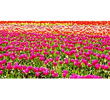 For The Love Of Tulips Photographic Print